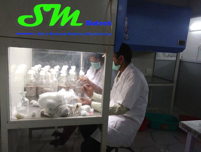 34Spawn Inoculation inside Laminar Airflow