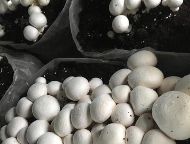 Hyderabad Mushroom Crop