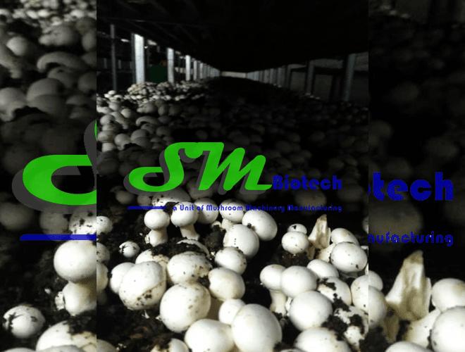 Mushroom Flush Image 4_Sehsola Agro