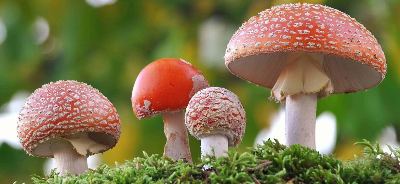 Amanita muscaria family