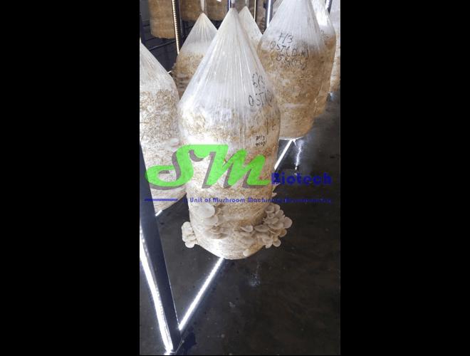 Gurgaon Oyster Mushroom Plant_White Oyster Mushroom